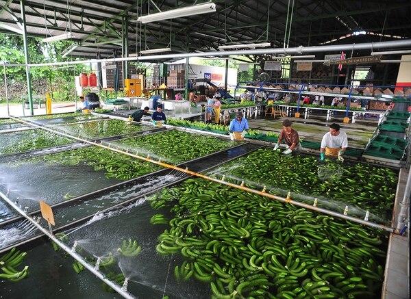 El banano tuvo una caída de un 14% en sus exportaciones generales acumuladas a setiembre, frente al mismo lapso del 2012.   ARCHIVO/JORGE CASTILLO