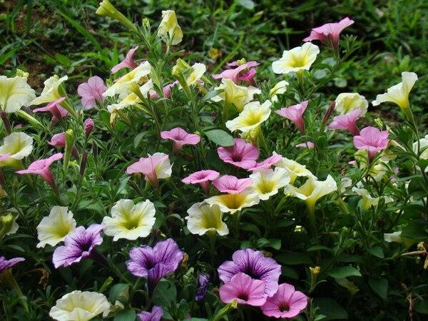 Las petunias son parte de la exposición. Habrá 30 variedades de esta planta. Foto: Cortesía del Jardín Botánico Else Kientzler