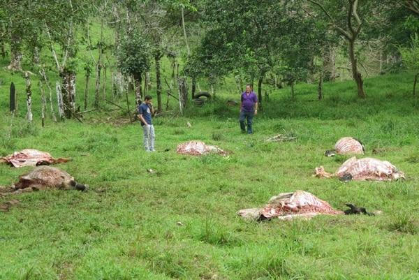 El dueño de la finca, Misael Morera Arrieta, ha sufrido la perdida de 11 cabezas de ganado en lo que va del año.