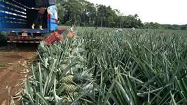 Minae prohíbe siembra de piña y otros monocultivos en zonas silvestres protegidas