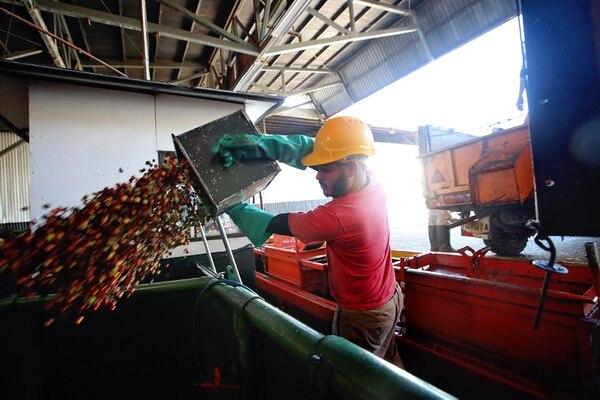 La región de Los Santos se mantiene como la de más producción en Costa Rica, aunque bajó un 10% en la cosecha pasada. Aquí el recibo del grano en Coopedota, uno de los cantones de esa zona, a cargo de Foylan Navarrro. Foto: John Durán