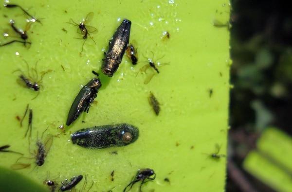 Los escarabajos machos se lanzan hacia las supuestas hembras atraídos por su iridiscente color verde y caen en la trampa