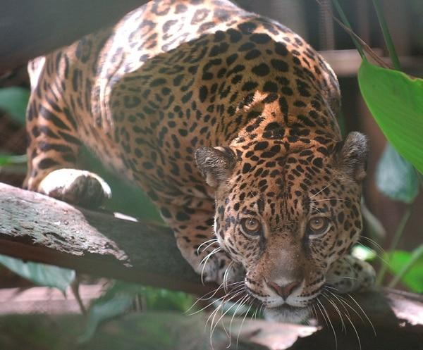 El Minae ha ubicado en zoológicos algunos felinos que no han podido ser devueltos a su hábitat.