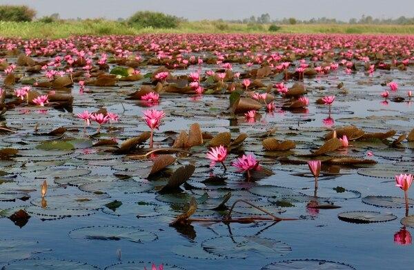 Un lago de flores de loto en Tailandia. Fotografía: José Retana