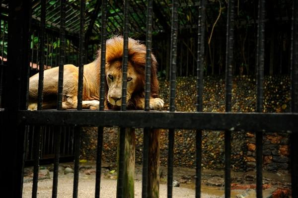 Según Yolanda Matamoros, representante de Fundazoo, el zoológico alberga una muestra de 60 especies de fauna, la mayoría es nativa del país. Solo dos especies son exóticas, una es el león.   GESLINE ANRANGO PARA LN