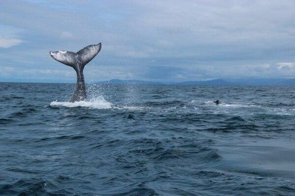 En el Pacífico sur, la temporada alta de ballenas se extiende desde setiembre hasta octubre. | CORTESÍA DE ASOCIACIÓN COSTA RICA POR SIEMPRE