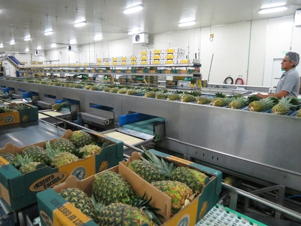Un 52% de la piña que exporta Costa Rica se coloca en el mercado de la Unión Europea. El año pasado se vendieron $384 millones de esta fruta al bloque de 27 países, con un aumento del 3% respecto a las colocaciones del 2012, según datos de Procomer. | CARLOS HERNÁNDEZ