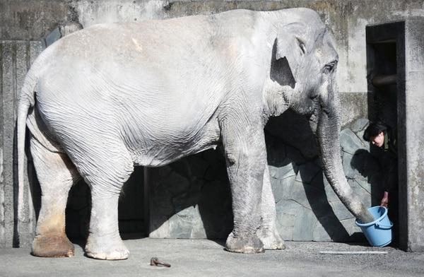 El Parque Zoológico Inokashira reconoce que no está equipado para tener un elefante.
