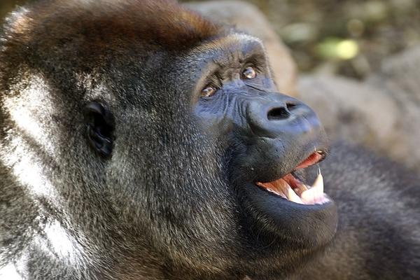 El gorila León ha sido seleccionado para traslarse al zoológico de Belo Horizonte, en Brasil, y fundar la primera familia en Latinoamérica. Por ahora, vive en el zoológico de Loro Parque en Tenerife (España).