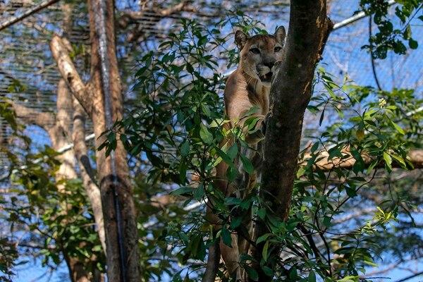 Su antiguo recinto tenía 20 años y estaba deteriorado. Gracias a las donaciones de la gente, el centro de rescate Las Pumas pudo construirle uno nuevo. En este, el puma Bruno tiene una pileta, árboles donde escalar y tarimas donde dormir.