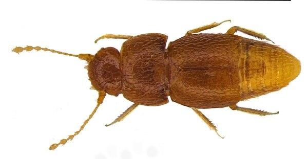 Nelloptodes gretae, no tiene ojos ni alas, pertenece a la familia de escarabajos Ptiliidae, que incluye algunos de los insectos más pequeños del mundo. Foto: AFP