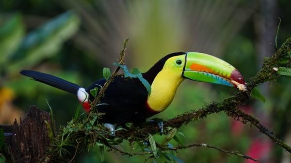 Un tucán entre la naturaleza tica. Foto: PxHere.