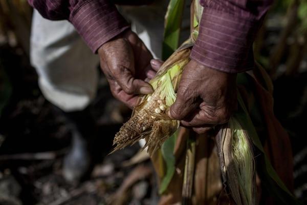 La cosecha de maíz se secó en San José del Golfo, Guatemala, en octubre del 2018. EFE