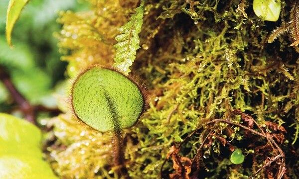 El musgo establece relaciones ecológicas con otras especies de plantas, insectos y microorganismos. Su ausencia, a causa de la extracción ilegal, podría provocar un desequilibrio en el bosque. | ALONSO TENORIO