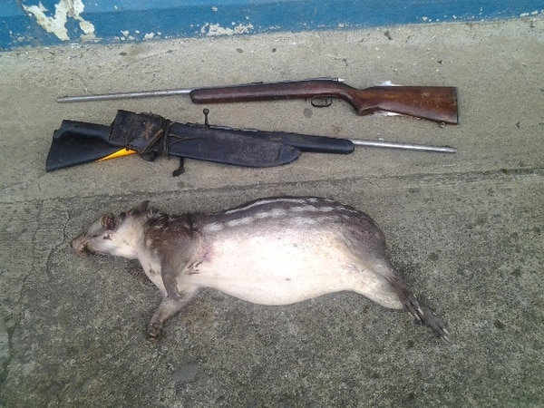 La Policía de Fronteras de Sarapiquí enterró el animal. | MSP.