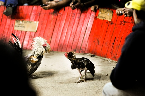 Dos gallos frente a frente en el ring de una gallera.