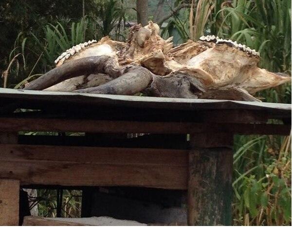 En el matadero había restos óseos, como estas testuz de reses. | OIJ PARA LN.