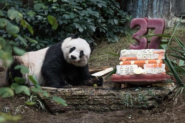 El panda Jia Jia está al lado de su queque de cumpleaños hecho de jugo de hielo y fruta, para celebrar su cumpleaños número 37 en un parque de atracciones en Hong Kong.