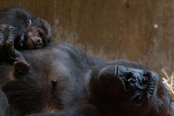 Calaya y su pequeño Moke. Foto: Smithsonian's National Zoo and Conservation Biology Institute