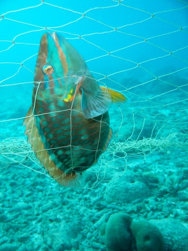 Los peces loro son herbívoros que ayudan a los corales a mantenerse 'limpios' de macroalgas, las cuales podrían impedir su crecimiento.