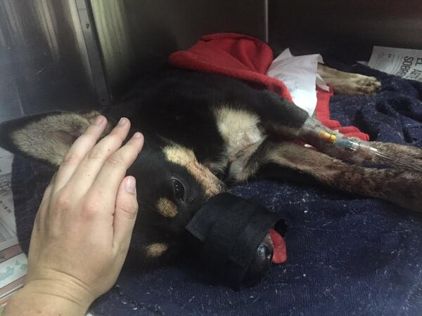 Duke está siendo operado en una veterinaría de Curridabat.