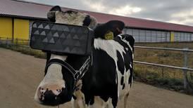 Rusia coloca gafas de realidad virtual en vacas para mejorar la producción de leche