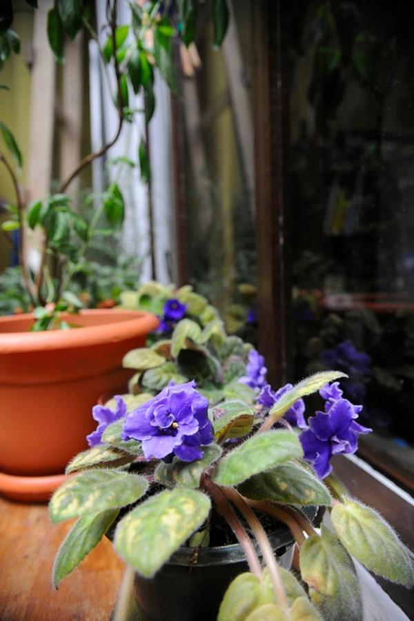 A la derecha, una foto que revela su gusto por las violetas. Las cuida en sus ratos libres y dicen que tiene buena mano.   FOTO: EYLEEN VARGAS