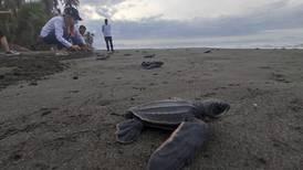 Proyecto en playa limonense liberó 70.000 tortugas marinas en peligro de extinción