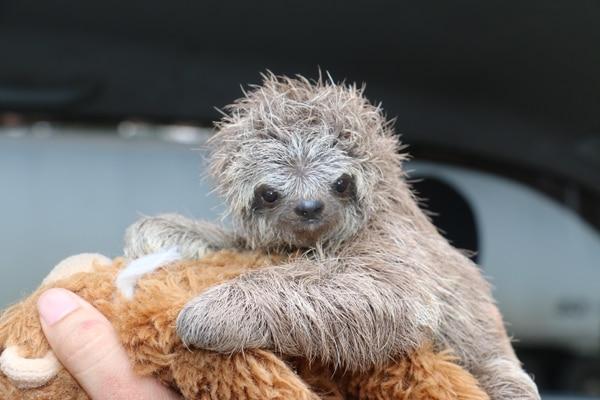 Según personeros del Minae de Pococí, el animal tiene dos meses y un tamaño de no más de 20 centímetros.