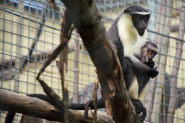En la imagen de archivo tomada el 2 de agosto de 2012 en el zoológico de Mulhouse, en el este de Francia, se observa a Owabi (der.), una cría de dos semanas de edad de la familia Cercopithecus roloway, una de las 25 especies de primates más amenazadas del mundo, con su madre, Nyaga. La nueva 'Lista Roja' de especies amenazadas, publicada este 18 de julio, coloca al rodamayo de Cercopithecus en peligro crítico de extinción. Foto: AFP