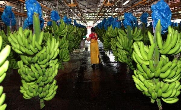 El valor de las exportaciones de banano, al primer cuatrimestre, cayó un 34% al pasar de $361 millones en el 2018 a $240 millones este año. Este producto sufre por el efecto climático y los precios. Foto: Graciela Solís