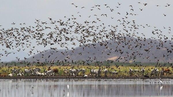 El pastoreo con ganado es una de las técnicas de intervención para manejo activo del Parque Nacional Palo Verde.
