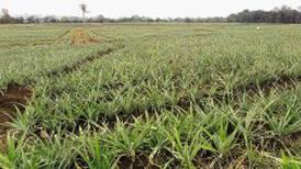 Sectores de piña y raíces están en el epicentro de los nuevos controles por coronavirus en la zona norte