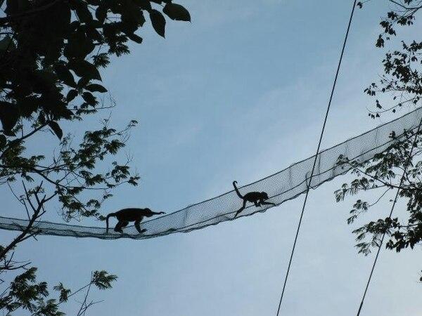 Puentes de monos como este se utilizan para ayudar a los animales a cruzar las carreteras.