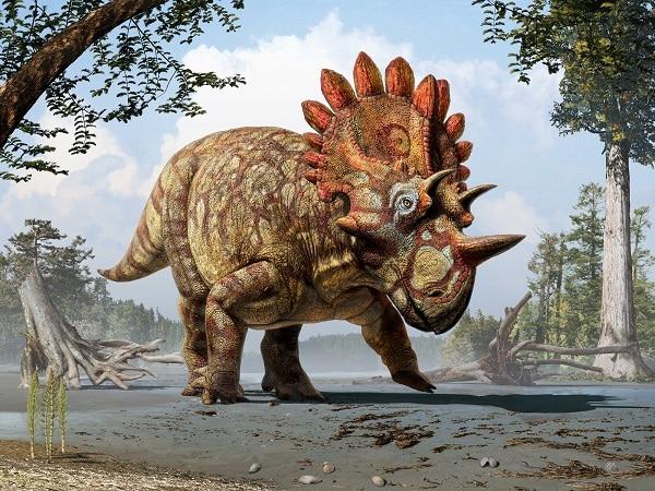 Esta nueva especie de dinosaurio se diferencia de los Triceratops porque tiene una corona alrededor de la cabeza muy peculiar, un cuerno más imponente en la nariz y un pequeño cuerno encima de cada ojo.
