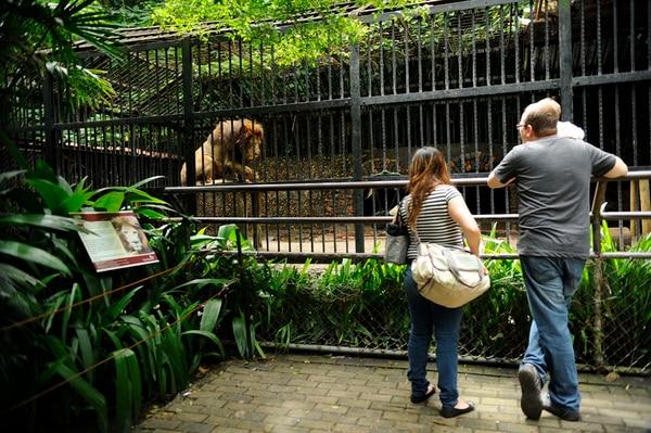 Kivú nació en el Jardín Zoológico de La Habana. Llegó al Parque Zoológico Simón Bolívar en 1999. La familia Campos Sáenz lo visitó.   GESLINE ANRANGO PARA LN