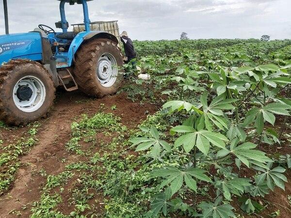 El cultivo de yuca y de otras raíces y tubérculos para la exportación brinda trabajo en áreas rurales, como la zona norte y el Caribe.