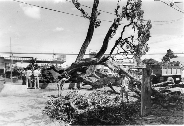 Una vieja imagen del famoso higuerón caído. Foto: Archivo LN.