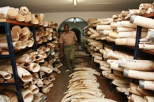 Solo en el 2011 mataron a 25.000 elefantes en África a causa del tráfico ilegal de marfil. Las poblaciones han disminuido un 62%.   AFP