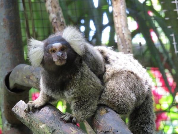 Mono marmoseta vive durante su familia durante años.