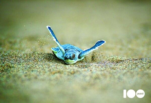 El libro hace un recorrido por distintos destinos y descubre los mamíferos, las aves, los reptiles, los insectos y los peces que los llenan de vida. En la foto, el nacimiento de un tortuga verde en Tortuguero. Foto: Cortesía Editorial Pucci