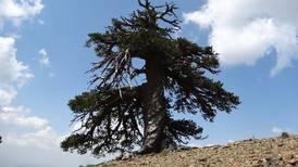 Adonis, el árbol más antiguo de Europa, tiene 1.075 años