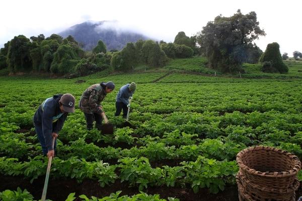 Los grupos agrícolas que defienden el uso de instrumentos de comercio internacional para proteger a la producción local dicen representar a unos 200.000 agricultores. Aquí un cultivo de papa en barrio Los Angeles de Pacayas de Alvarado. Foto: Rafael Pacheco