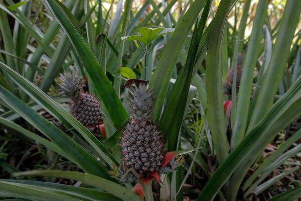 En la finca Amores de Toñito, ubicada en Paraíso de Bribri en Talamanca, se está sembrando piña como parte de la diversificación agrícola.