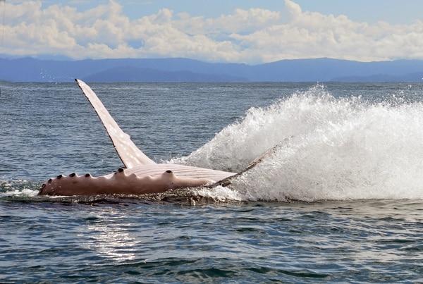 Los turistas pueden identificar ciertos comportamientos por parte de las ballenas y delfines para determinar si se encuentran molestas por la presencia de personas y embarcaciones. Foto Mario Rojas/Archivo