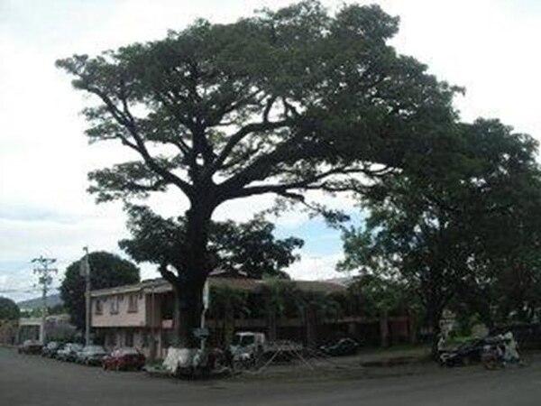 En Centroamérica el árbol de ceiba tiene un valor cultural debido a leyendas populares. | JULIO SEGURA.