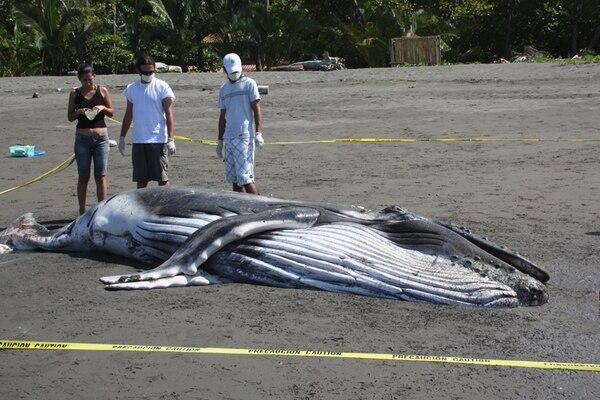 Los grupos de ballenas que mueren en la playa han llevado a que se especule si su muerte fue voluntaria.