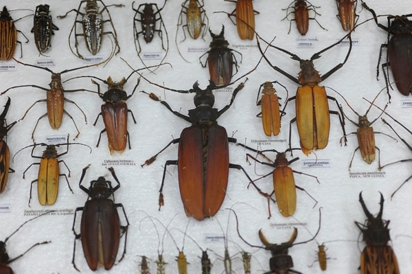 Se impartirá una conferencia sobre insectos comestibles.   ARCHIVO