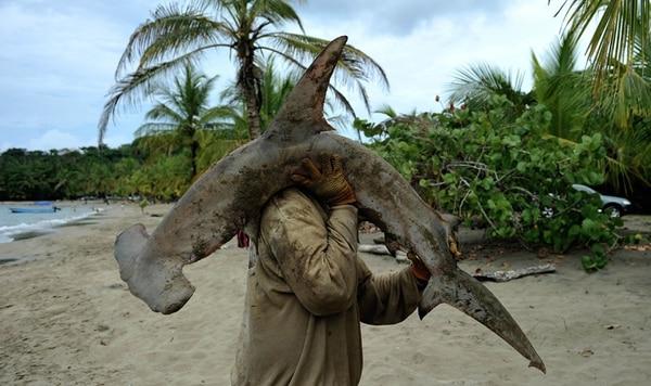 Las poblaciones de tiburón martillo se han reducido en 90% en el planeta. Costa Rica impulsa la protección de las variedades Sphyrna lewini y Sphyrna mokarran .   AFP.