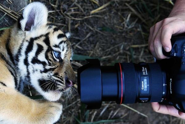 Nacen cuatro tigres de bengala en cautiverio en un parque de El Salvador. AFP